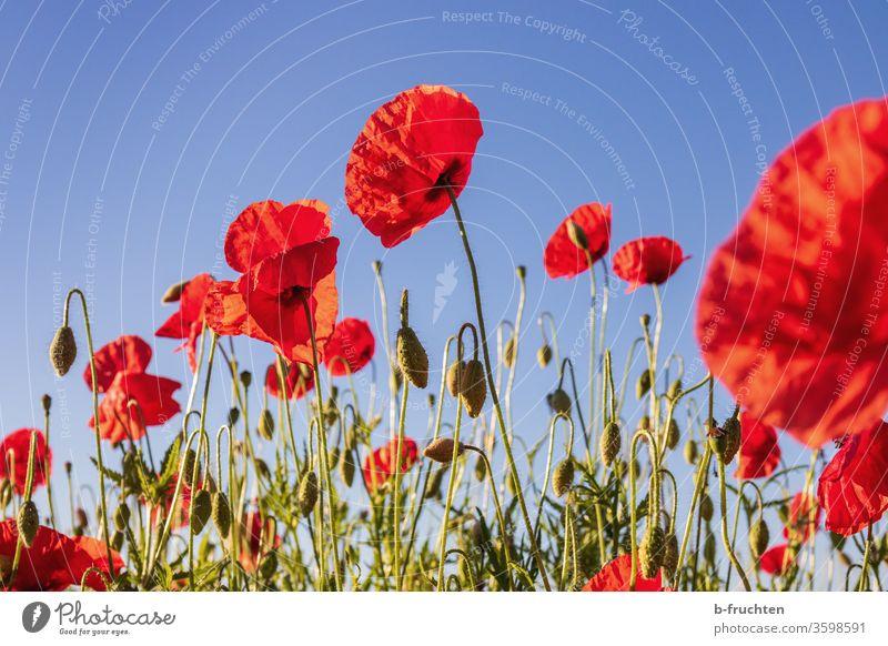 Mohnblumenfeld Natur Blume Sommer Wiese rot Blüte schön Pflanze Außenaufnahme Umwelt