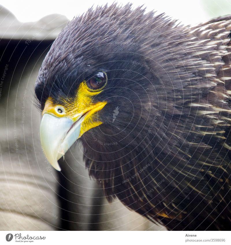 scharfer Blick Greifvogel Vogel Schnabel Tierporträt Jagd Wildtier beobachten warten natürlich groß Stolz selbstbewußt Kraft Wachsamkeit braun Natur