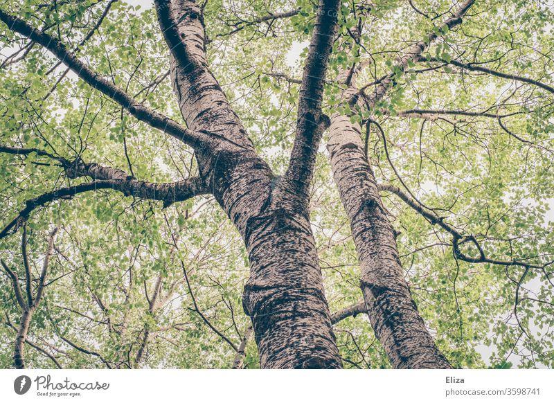 Blick von unten in die Baumkronen zweier Bäume im Wald Blätter hoch grün frühling Sommer Birke Natur Stamm Äste Kronen Baumstamm naturverbunden Idylle