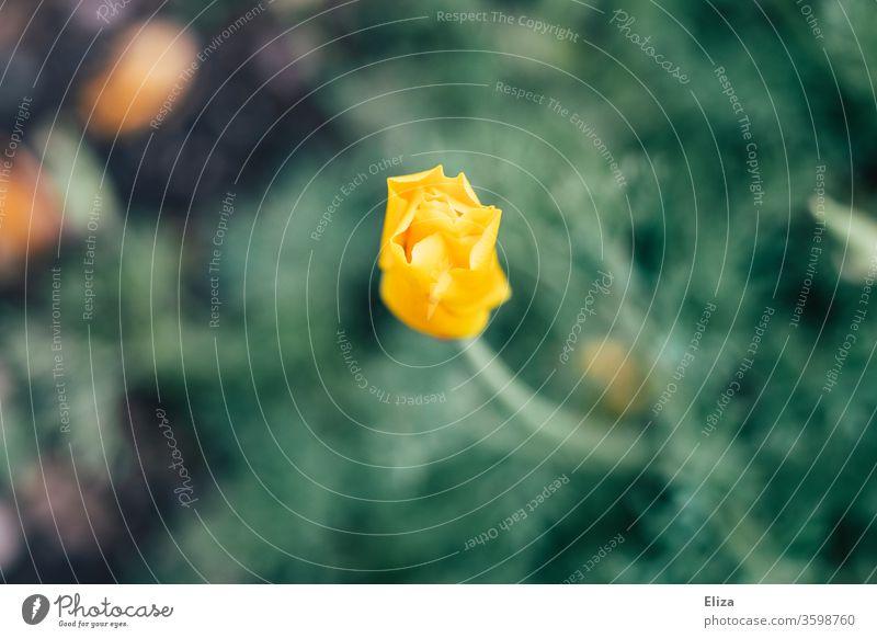 Gelbe leicht geöffnete Knospe einer Blume Frühling Blüte Garten Natur gelb Beginn Anfang