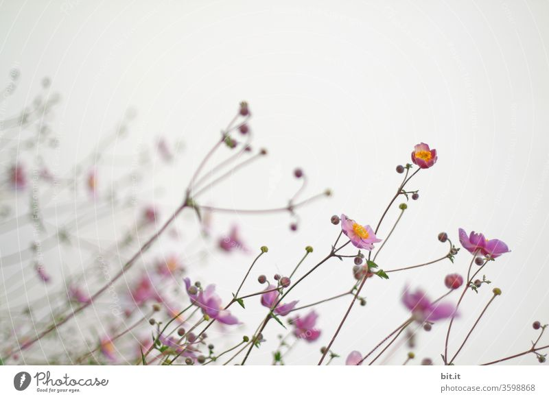 Spärliche rosa Herbst Anemone, mit kahlen Blütenstielen, kleinen Knospen & zarten Blüten, wächst schräg zum Licht geneigt. Schöne, leichte, filligrane Herbstblumen vor weißem Hintergrund beugen sich im Wind. Schiefe, krumme, schräge Blütenstengel, Stengel.