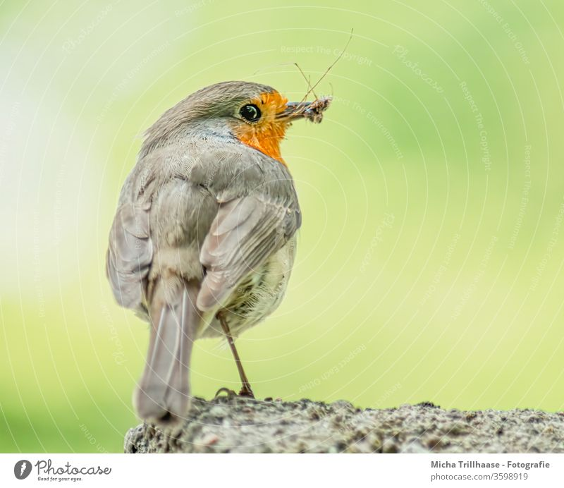 Rotkehlchen mit Insekt im Schnabel Erithacus rubecula Tiergesicht Auge Flügel Federn Gefieder Vogel Wildvogel Wildtier Natur Beine Nahaufnahme Makroaufnahme