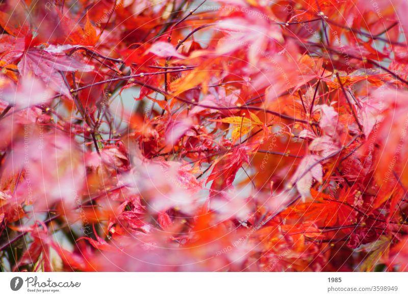 Der Ahorn in seinem Herbstkleid, strahlend rot ahornblätter Außenaufnahme Farbfoto Ahornblatt Baum Natur Menschenleer Tag Herbstlaub herbstlich mehrfarbig