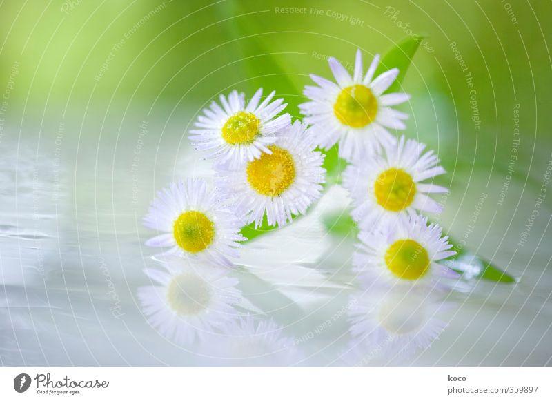 Sonnenscheinchen Natur grün weiß Sommer Pflanze Blume Blatt gelb Frühling Glück Blüte natürlich Idylle glänzend Glas