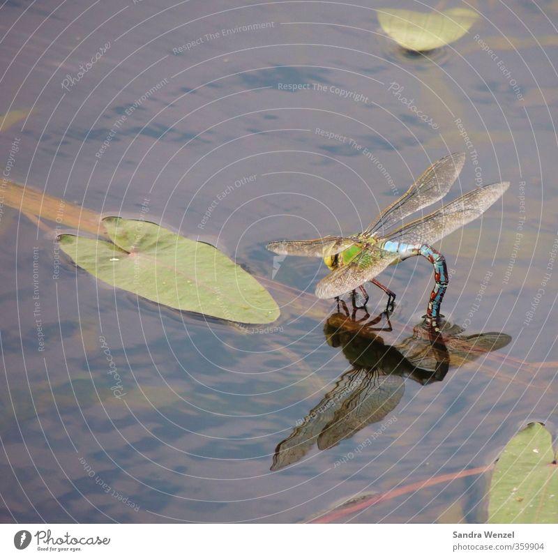 Blaue Libelle Natur blau grün Wasser Sommer Pflanze Tier Blatt Umwelt Frühling See braun Flügel Fluss Seeufer Flussufer