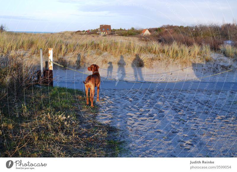 Familienspaziergang am Strand - Frau, Mann und Hund als Schatten; Hund (Magyar Vizsla) von hinten fotografiert Schattenspiele Strandspaziergang Familiemithund