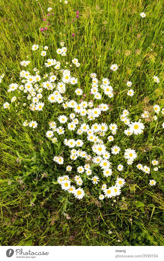 Wiese mit wilden Margeriten und ein wenig Roter Klee, aus der Vogelperspektive Blumen blühen Gras Sommer Wachstum selten Frühling Natur natürlich Blühend gelb