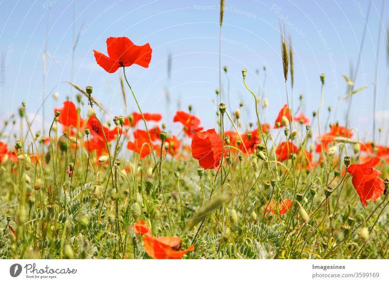 Mohnblumenfeld und Weizen. Nahaufnahme von roten Mohnblumen, die auf Feld gegen Himmel blühen. Blumenstreifen mit Mohn. Teil der Felder mit Mohn anstelle von Gerste oder Weizen Monokulturen In Rheinland Pfalz, Deutschland. Biologischer Anbau