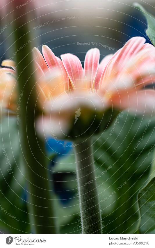 In der Frühlingssonne blühende Gerber-Gänseblümchen. Leuchtend rosa und orange Blütenblätter mit weichem, verschwommenem Hintergrund schön Schönheit Biologie