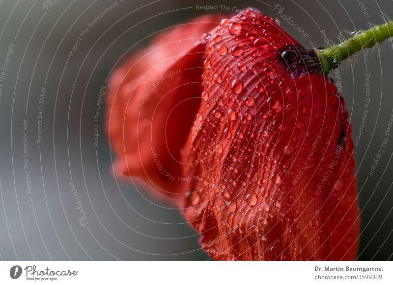 Papaver rhoeas, Klatschmohn, Blüte mit Wassertropfen Mohn Papaveraceae giftig Pflanze Heilpflanze Mohngewächse Closeup