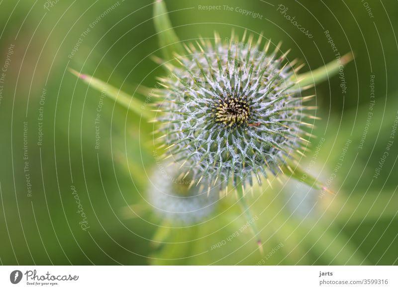 distel Distel Stacheln Pflanze grün Makroaufnahme Spitze Nahaufnahme Detailaufnahme Natur Wachstum Dorn Botanik Strukturen & Formen Sukkulenten Menschenleer