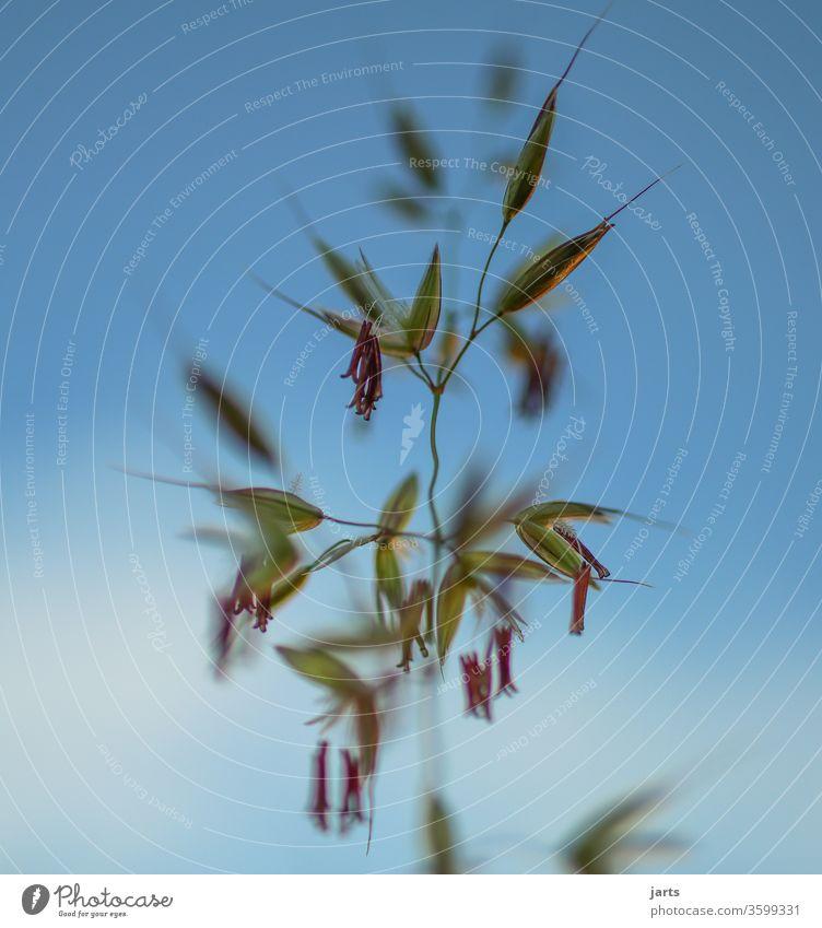 gras Samenpflanze Gras Wiese Pflanze Natur Außenaufnahme Farbfoto Menschenleer Nahaufnahme Tag grün Detailaufnahme Umwelt Makroaufnahme Grünpflanze natürlich