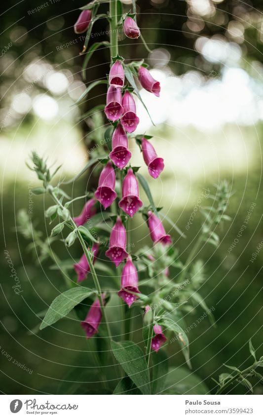Digitalis thapsi-Blüte Blume Sommer Blumenwiese Wiese Blühend Wiesenblume Gras Farbfoto Wildpflanze Wildblumen Natur Pflanze Außenaufnahme Schönes Wetter Umwelt