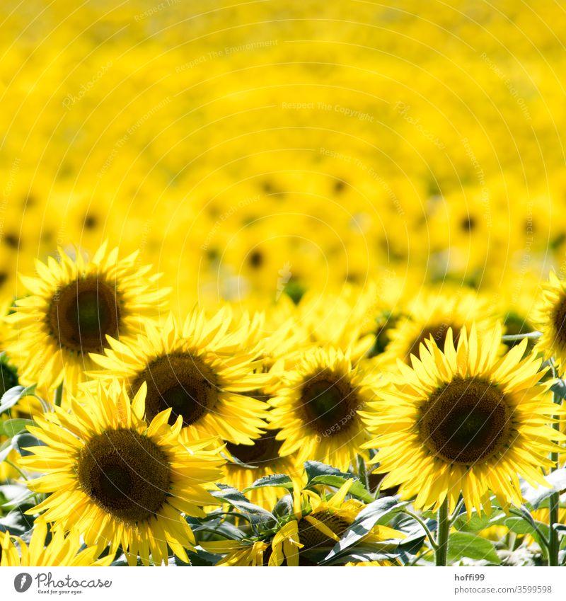 Sonnenblumen - tausende Sonnenblumen gelb Sommer Blume Blüte Blütenblatt Feld Natur Blühend schön