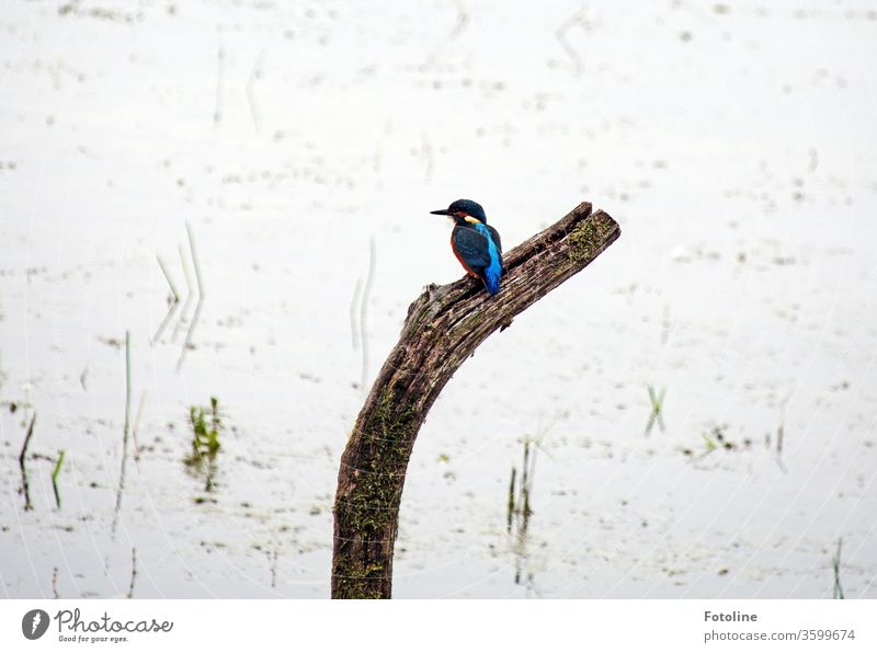 Erwischt! - oder endlich, nach unzähligen Tagen setzte sich der kleine Eisvogel genau da hin, wo ich ihn immer haben wollte :-) Vogel Eisvögel Tier