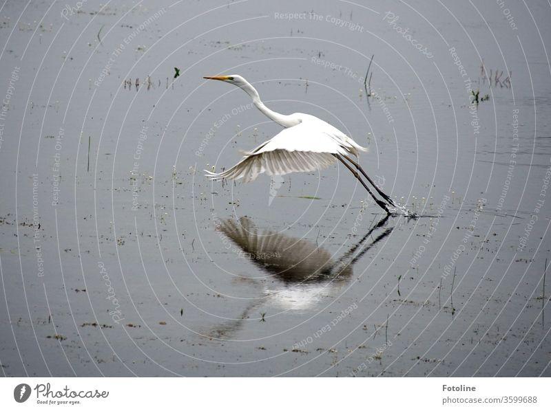 pure Eleganz - oder ein Silberreiher, der nach einem leckeren Frühstück davonfliegt. Reiher Vogel Tier Natur Farbfoto Außenaufnahme Menschenleer Tag 1 Umwelt