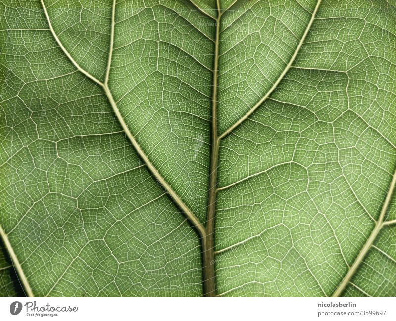 Detailaufnahme eines grünen Ficus-Blattes im Vollformat Geigenfeige Blattadern Hintergründe Hintergrund texturiert Pflanze Muster Schönheit in der Natur Botanik
