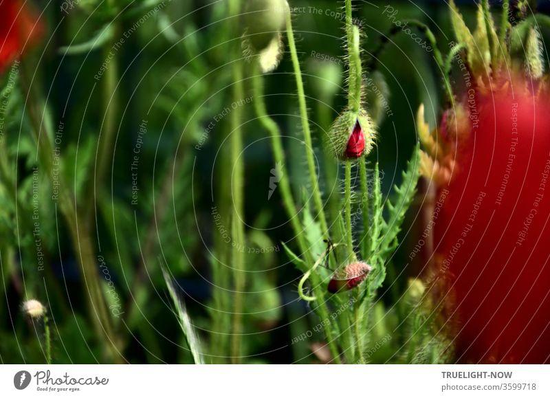 Aufwachen! Mohntag... Zwei Mohnblüten Knospen beginnen sich zu öffnen, während unscharf am Rand links oben und rechts schon geöffnete Blüten zu erahnen und im dunklen Hintergrund Blütenstengel, grüne Knospen und Samenkapseln erkennbar sind