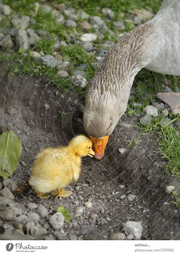 Gänseküken mit seiner Mama Tier Nutztier Gans Küken 2 Tierjunges Tierfamilie berühren Kommunizieren Zusammensein Neugier niedlich Gefühle Vertrauen Schutz