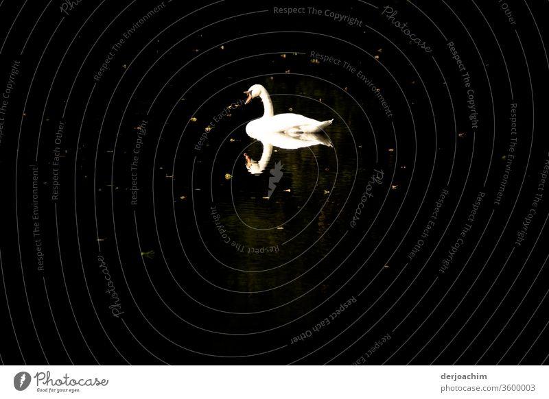 Weißer Schwan auf dunklem Wasser..( mit Reflexion  ) Natur Außenaufnahme Farbfoto Menschenleer Umwelt Tier Vogel Tag natürlich Wildtier Schwimmen & Baden