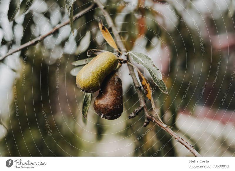 Detailaufnahme eines Birnbaums Obst Birne Frucht wachstum Gesundheit Ernährung Lebensmittel Farbfoto grün lecker frisch Bioprodukte Gesunde Ernährung Natur