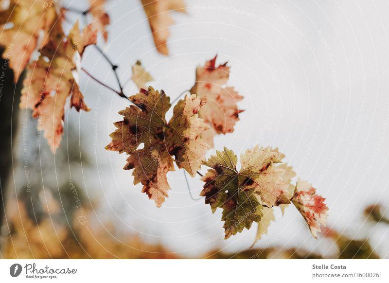 Weinrebe im Herbst - Herbstfarben Makro Makroaufnahme Rebe Weinberg Herbstlich Weintrauben Natur Ackerbau Wachstum Weingut ländlich Landschaft Pflanze