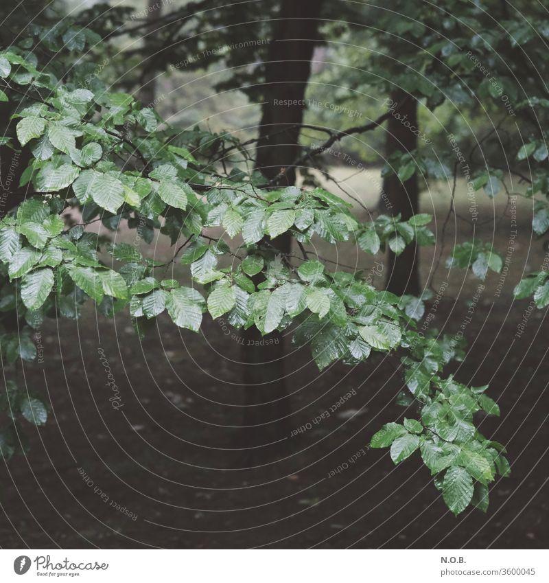 Nasses Laub an einem Buchenzweig Laubbaum nass feucht schlechtes Wetter nasses Laub Baum Natur Pflanze Außenaufnahme Farbfoto Tag grün Menschenleer Blätter
