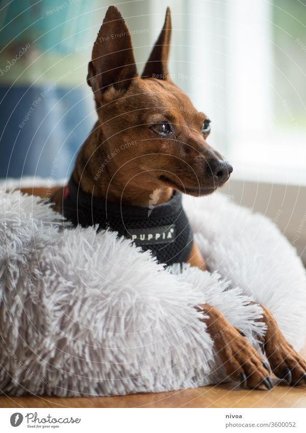 Rehpinscher Hund Pinscher Bett legen Tier Haustier Tag Freundschaft klein niedlich Erholung Farbfoto Innenaufnahme schön Tierporträt 1 Liebe weiß Freundlichkeit