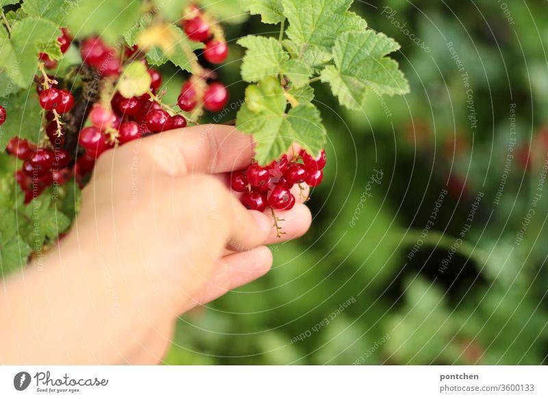 Hand pflückt reife Johannisbeeren vom Strauch im Garten. Ernte. Pflücken johannisbeeren strauch gesund Vitamin c gartenarbeit autark gartenliebe ernte rot hand