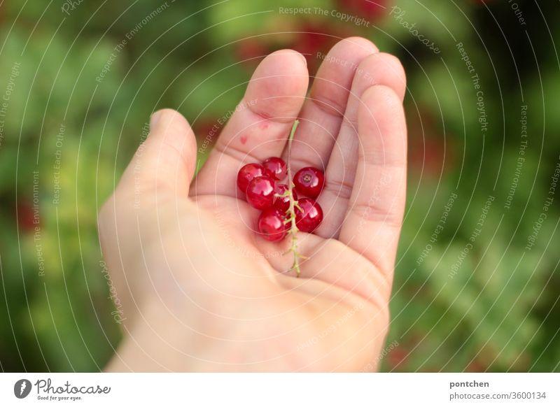 Frisch gepflückt- Hand hält Johannisbeeren im Garten gesund habd pflücken garten eigenanbau obst frucht rot frisch Sauer Lebensmittel Ernte reif fruchtig
