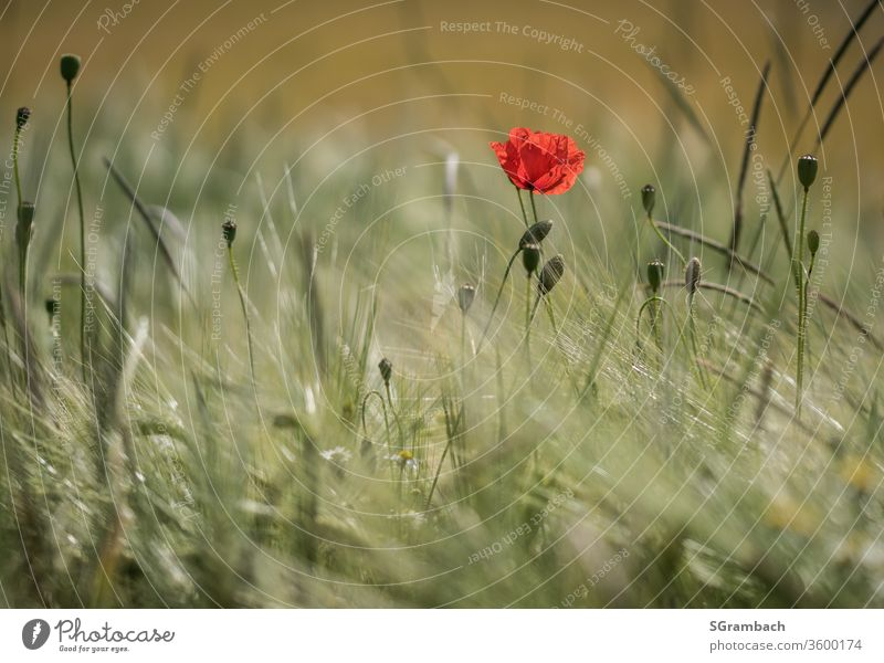 Einzelne Mohnblume im Kornfeld Klatschmohn Natur Getreidefeld Außenaufnahme Textfreiraum links Textfreiraum unten Tag Ähren Feld Farbfoto Sommer Menschenleer