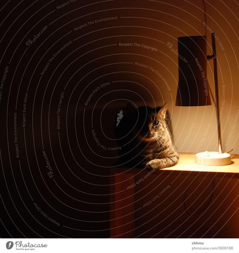 Warten auf Erleuchtung Katze leuchten Licht Schatten Tier Blick Menschenleer Nachttisch Lampe Halbschatten Wärme Innenaufnahme Haustier Kunstlicht Kater