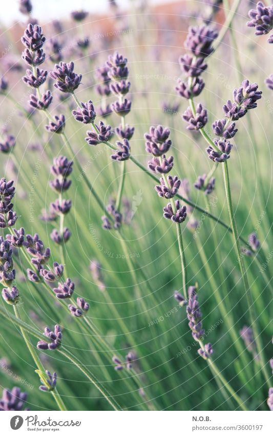 Lavendel hochkant Pflanze Blüte violett Duft Natur Blume Farbfoto Sommer Schwache Tiefenschärfe Außenaufnahme Tag Blühend grün Menschenleer Heilpflanzen Farbe