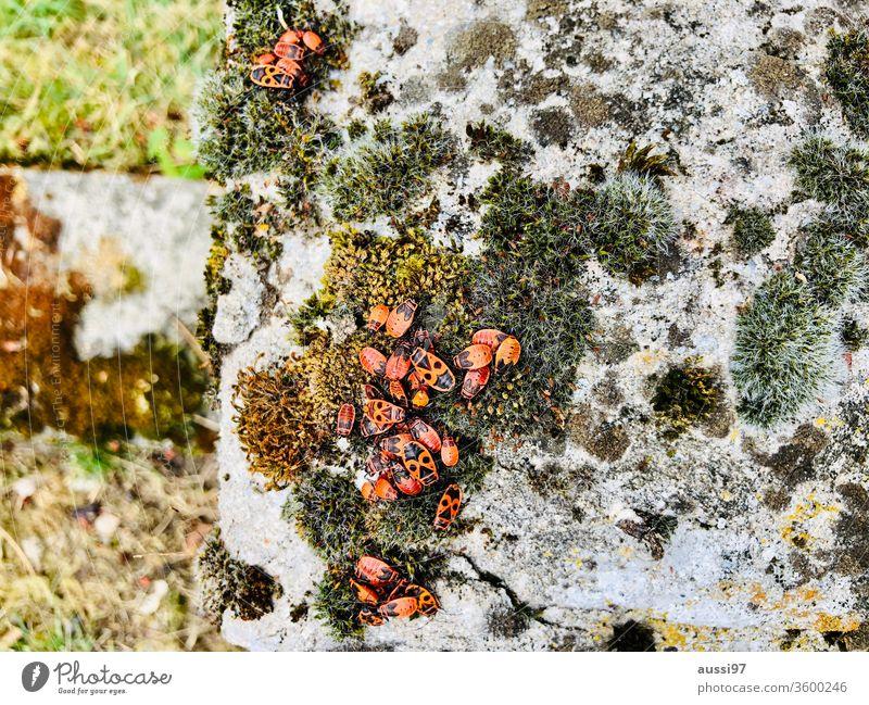 Orangefarbene Käfer orange Gruppe Insekt Wanze Moos Stein Tier Makroaufnahme krabbeln