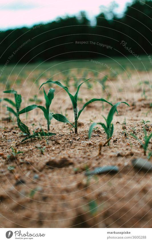 Maisfeld Dürre Mais Pflanze dürreperiode Genmanipulation genmais genmanipoliert Landwirtschaft Agrarwirtschaft Agrarprodukt Biogas Futter silage