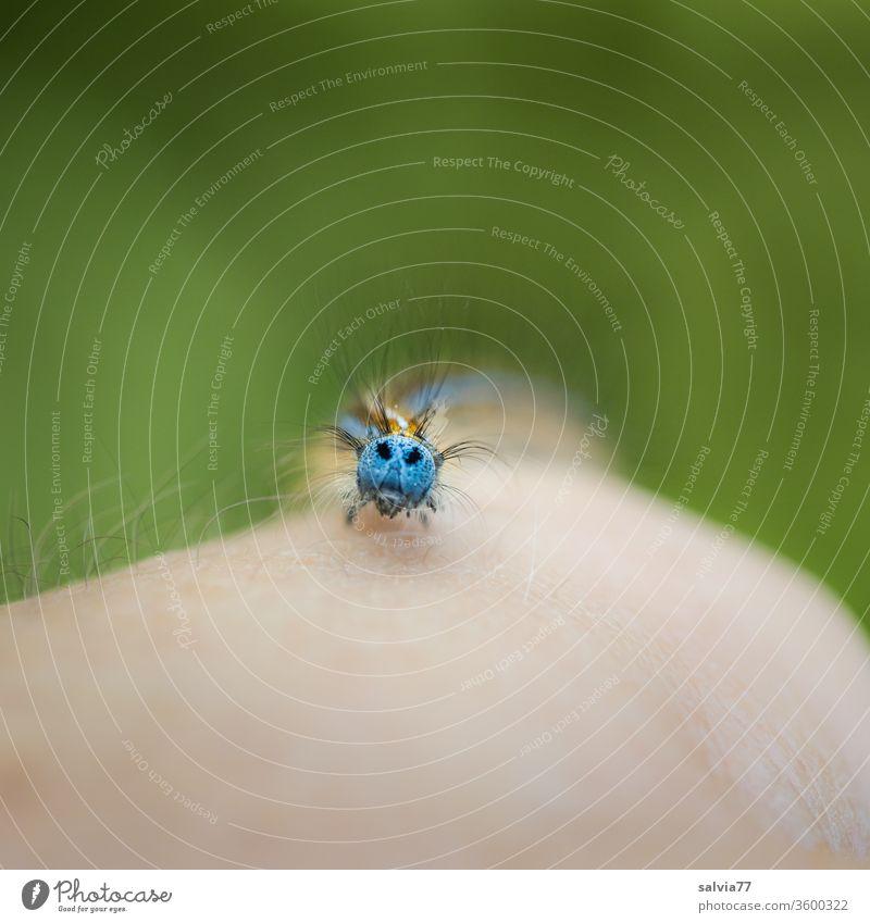 Raupengesicht Insekt Larve Schwache Tiefenschärfe krabbeln Tier Natur Schmetterling Ringelspinner grün Nahaufnahme Farbfoto Hintergrund neutral behaart Arm Haut