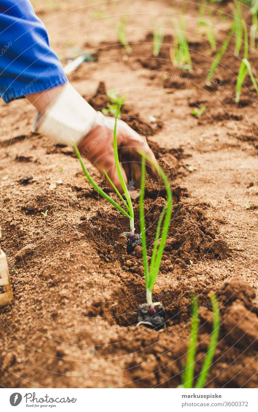 Bio Frühlingszwieben anpflanzen Garten Gemüse selbstversorgung Beet zwiebeln Lauchzwiebeln Lauchgemüse bio Anpflanzung unabhängig Feld Feldarbeit