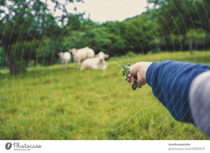 Kuhweide Weiderind Charolais französisch Rinderrasse rinder grasen Landwirtschaft milchvieh milchwirtschaft fressend