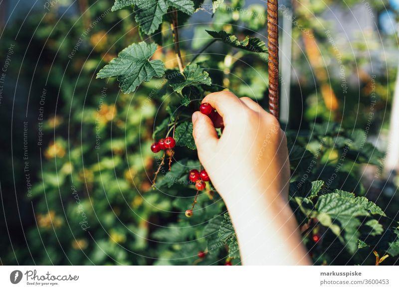 Bio Johannisbeeren Essbarer Garten selbstversorgung Beet bio anpflanzen Anpflanzung unabhängig hochbeet urban gardening Beeren strauch essbar pflücken