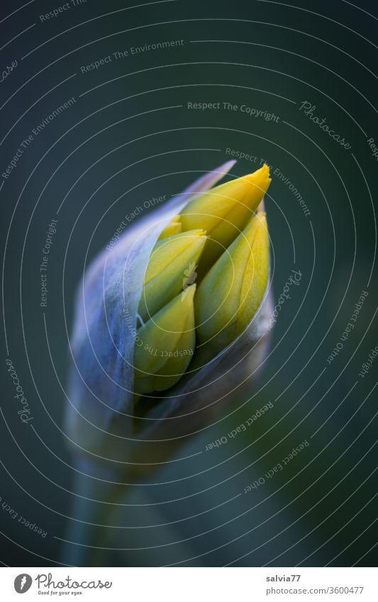 Blütenknospe Natur Knospe Blütenknospen Blume Pflanze Frühling Makroaufnahme entfalten wachsen Schwache Tiefenschärfe Garten gelb Kontrast Nahaufnahme