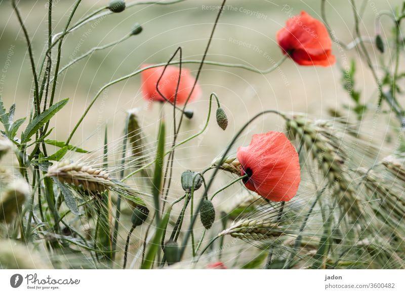endlich mohnblumen! Mohnblüte Mohnfeld Mohnkapsel Menschenleer Klatschmohn Getreide Blume Feld Wiese Sommer Schwache Tiefenschärfe Idylle roter mohn intensiv