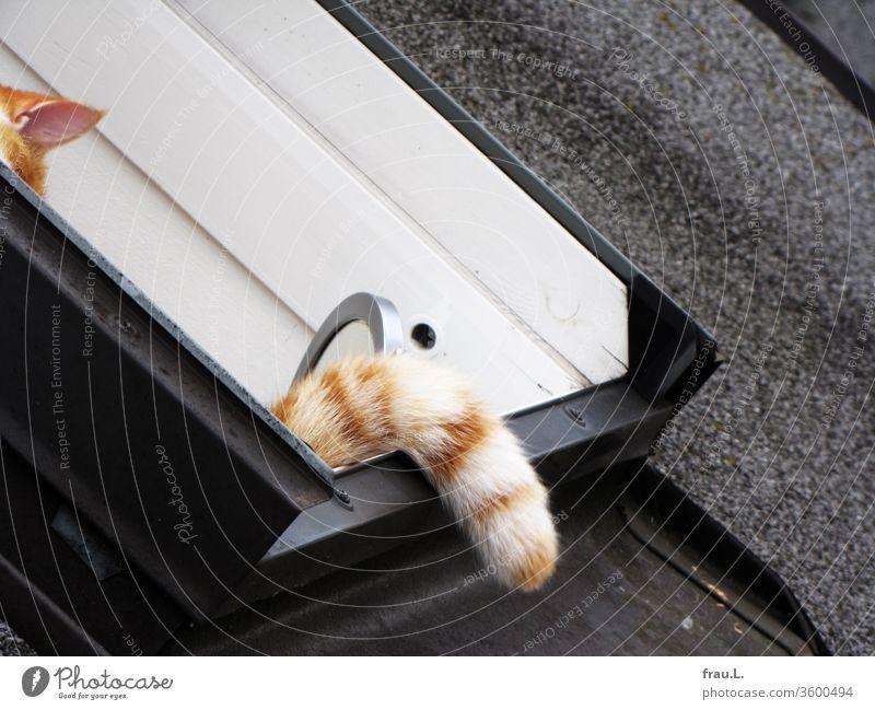 Der rot-weiße Kater meinte, sich im Dachfenster gut versteckt zu haben. Haustier Außenaufnahme Schwanz Ohr Fenster