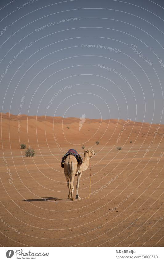 Ich bin dann mal weg. Das Dromedar ist auf der Flucht in die Wüste vor den Touristen. Oman Reisen Ferien & Urlaub & Reisen Kamel Tier Sand Farbfoto