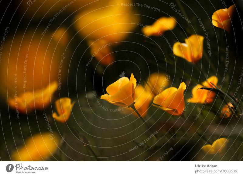 Gelbe Blüten des Kalifornischen Mohn (Eschscholzia californica) Kalifornische Mohn Mohnblumen Mohnblüten Sommer Frühling Blume Natur Außenaufnahme Feld Mohnfeld