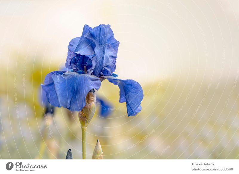 Blaue Schwertlilie (Iris) mit weichem Hintergrund und viel Platz für Text Schwertlilien Blume Blüte Weich Garten Floral Nahaufnahme Frühling Sommer