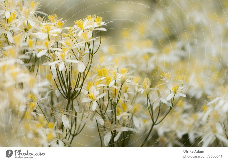 Kleine zarte Blüten der Aufrechten Waldrebe (Clematis recta) Aufrechte Waldrebe Blume Natur Makroaufnahme Sommer Menschenleer Nahaufnahme Außenaufnahme Garten