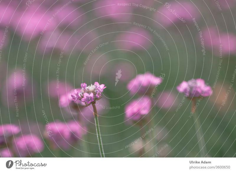 Blüte der Strand-Grasnelke (Armeria maritima) Salzwiese Blüten Blume Blumen rosa pink grün Natur Pflanze Platz für Text floral Flora Nelke Garten polsterartige