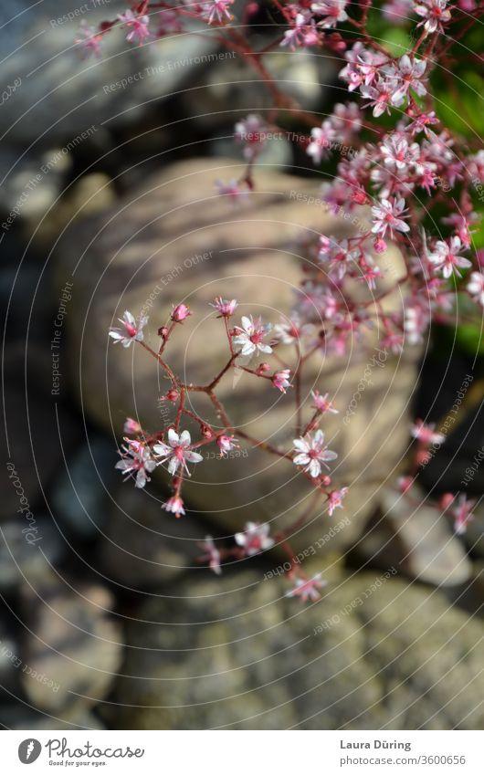 zarte rosa Blüten an einem Strauch über einer Steinlandschaft Pflanze Blume Steine Landschaft Garten weiß pink grau Natur Frühling schön Frühlingsgefühle