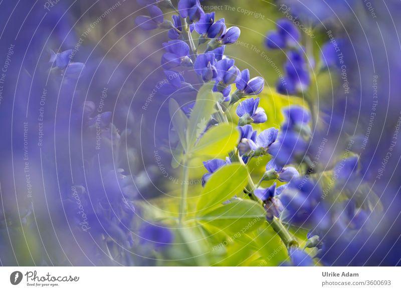 Florale Impressionen der  Indigolupine (Baptisia australis), auch blaue Färberhülse genannt Blume Blumen floral Blüte Blüten weich filigran grün natürlich Natur