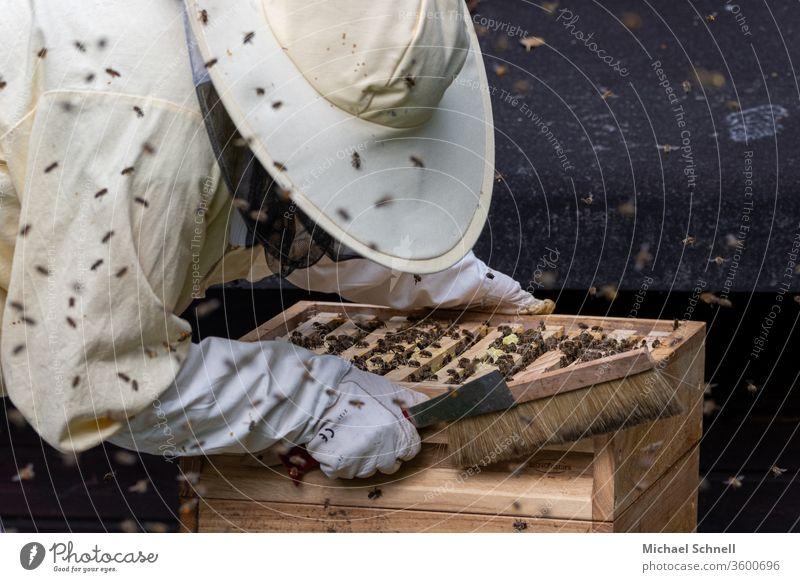 Imkerin an einer Beute (Bienenstock) mit vielen Bienen imkern Natur Tier Insekt Honig Imkerei Lebensmittel Bienenzucht natürlich Gesundheit